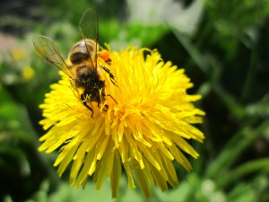 пчела на цветке одуванчика