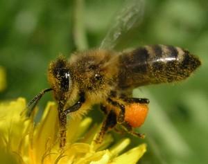 Пчелиная пыльца в Самаре
