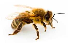 Пчела мёд